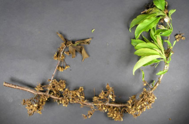 Hortgro Generic Info Decay Blossom Infection Nectarine